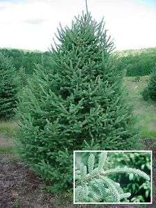 MOST POPULAR White Spruce TREE seeds